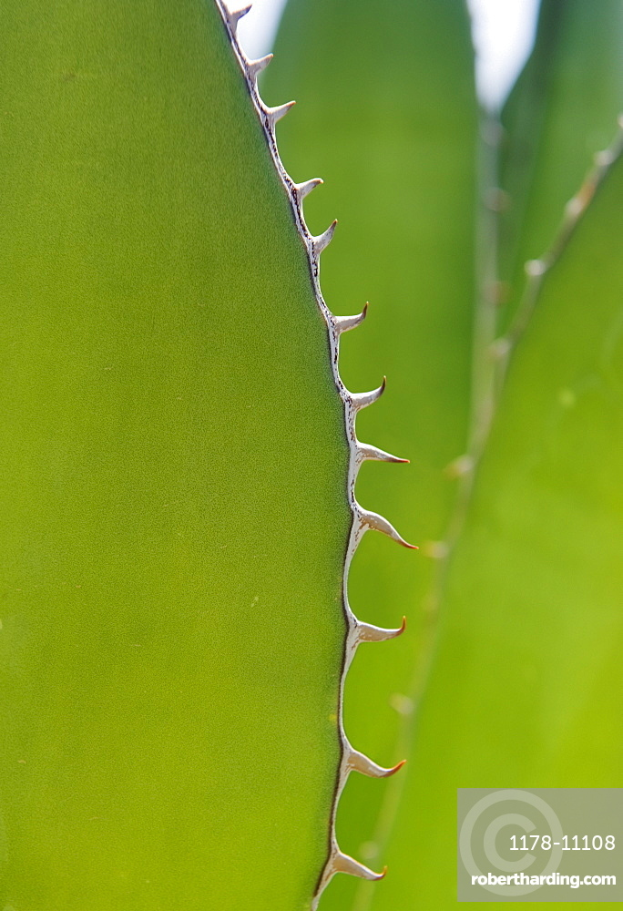 Close up of agave plant