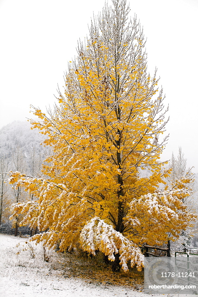 USA, Colorado, Yellow tree covered by snow