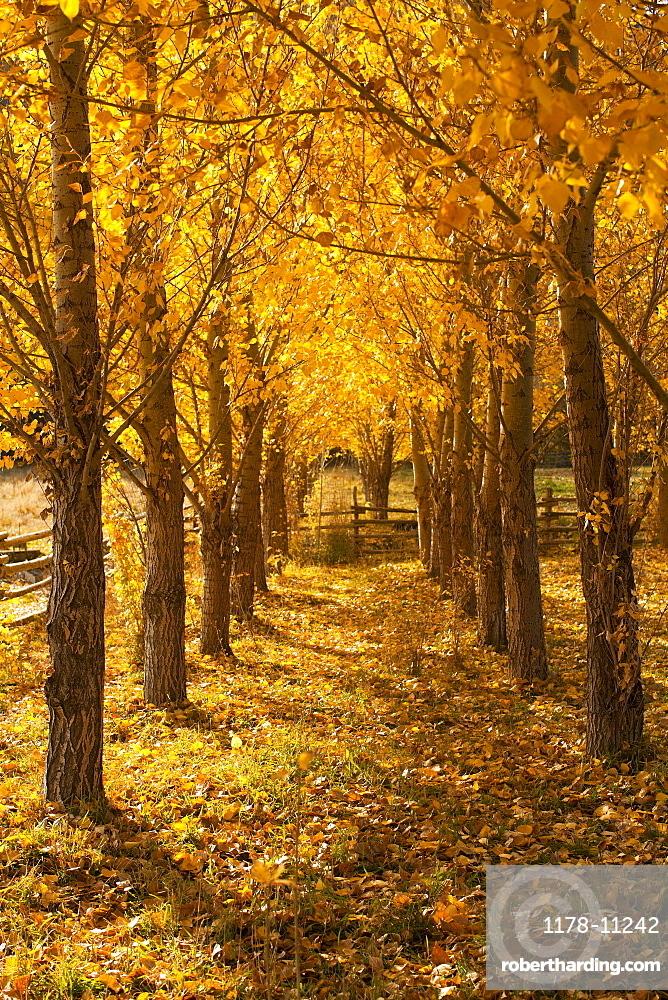 USA, Colorado, Autumn tree lined footpath