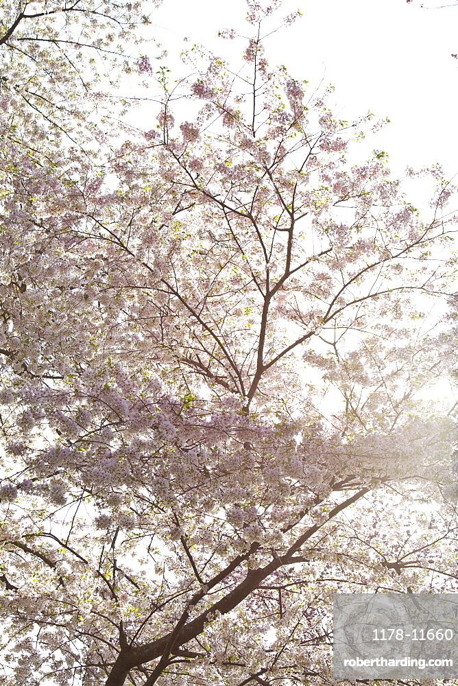 Spring blossom on tree