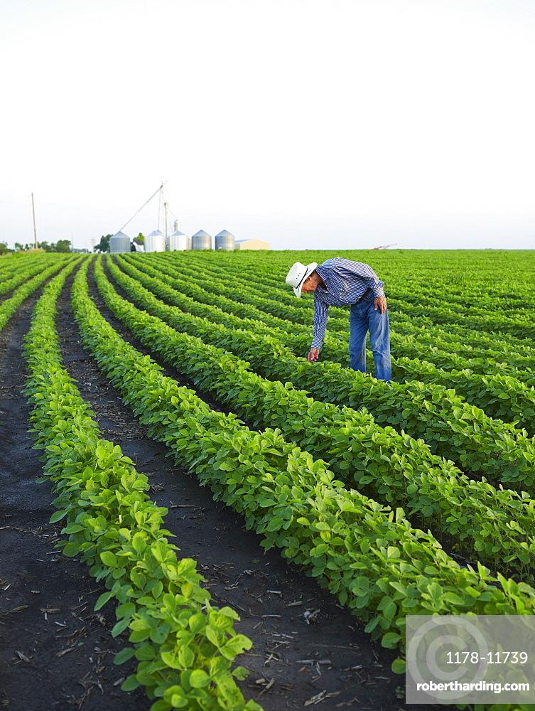 Farmer examining his crop