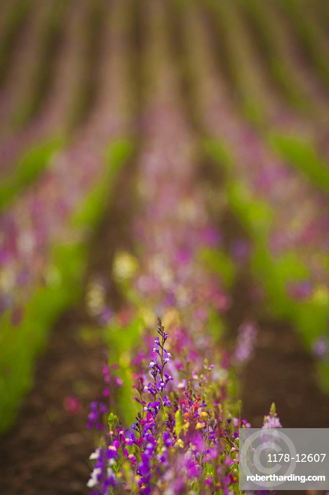 USA, Oregon, Marion County, Linaria flowers