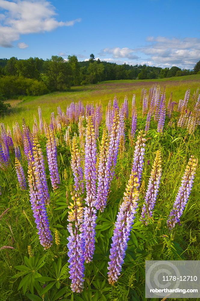 USA, Oregon, Flowering lupines
