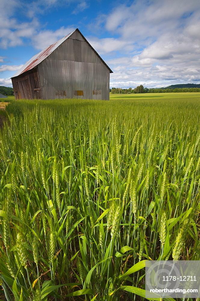 USA, Oregon, View through wheat field on wooden barn