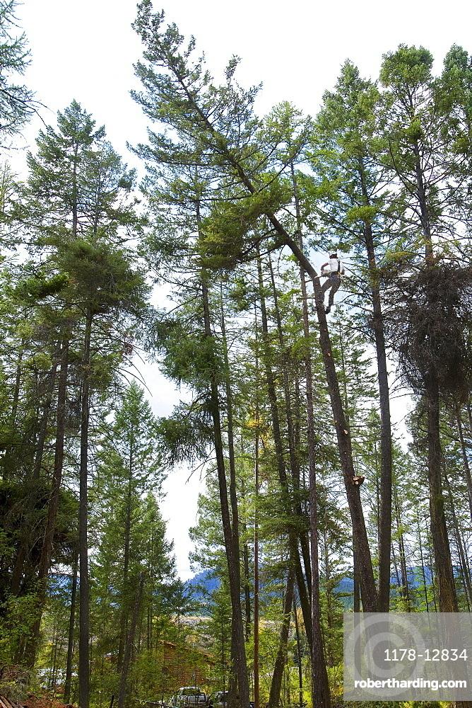USA, Montana, Lakeside, low angle view of lumberjack clambering tree