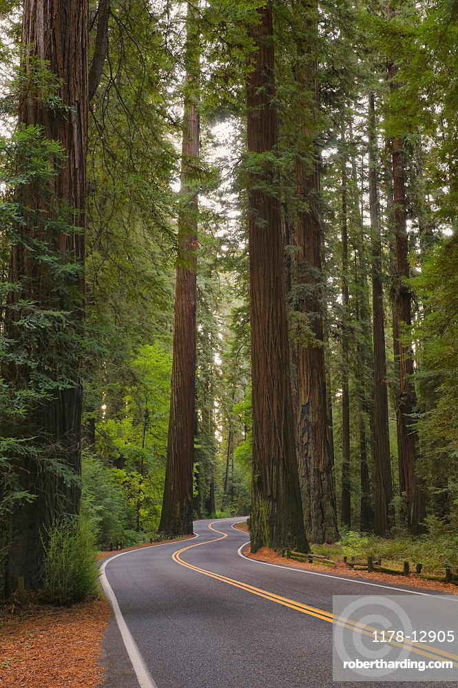 USA, California, road through Redwood forest