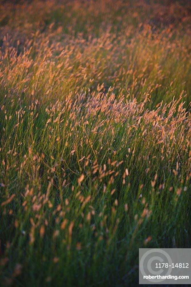 Green prairie grass