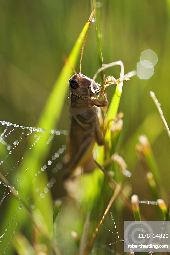 USA, South Dakota, Grasshopper on blade of grass in Badlands National Park