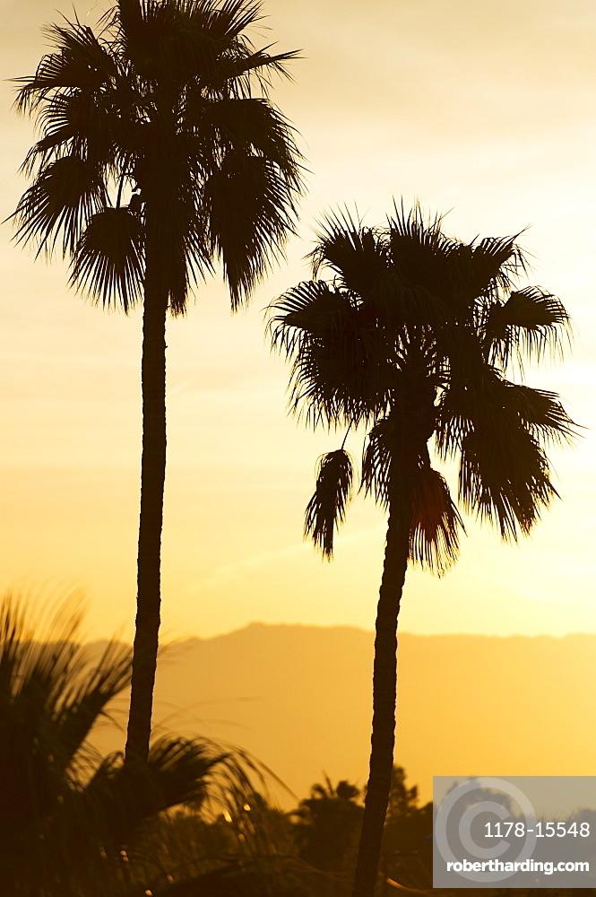 USA, California, Palm Springs, Palm trees silhouetted at sunset, USA, California, Palm Springs