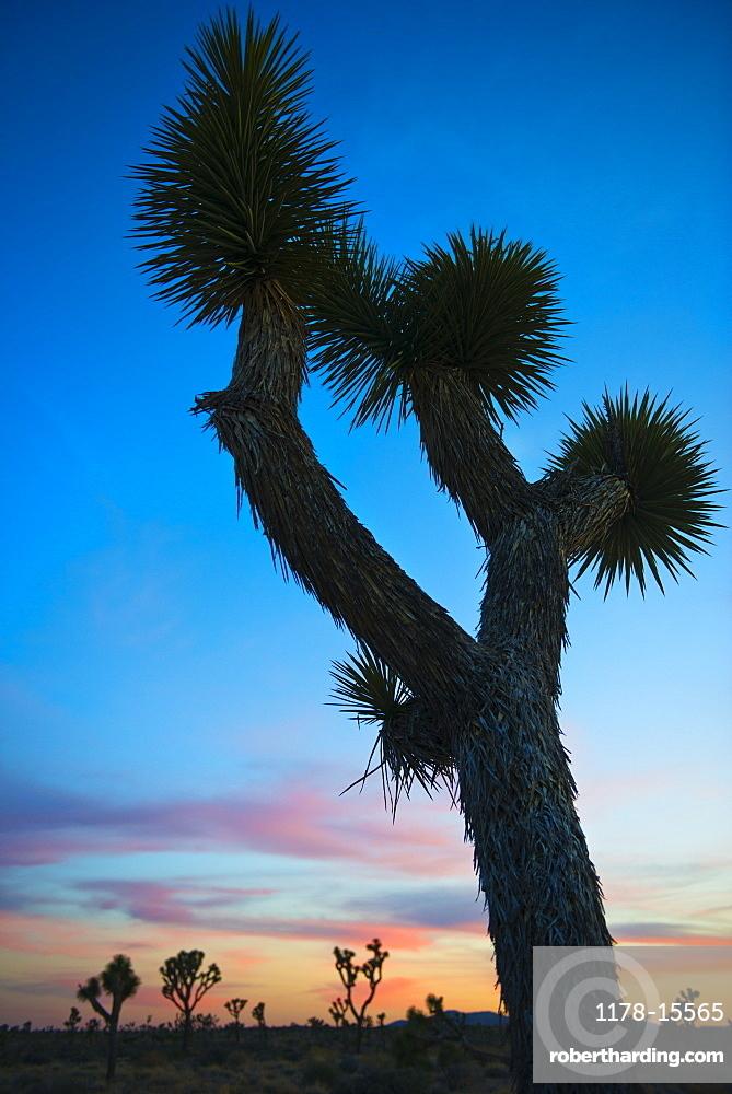USA, California, Joshua Tree National Park at sunset, USA, California, Joshua Tree National Park