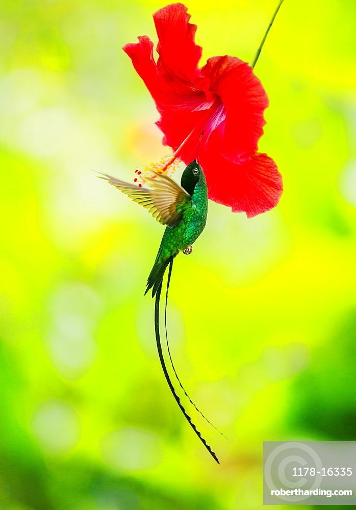 Hummingbird feeding with flower nectar, Jamaica