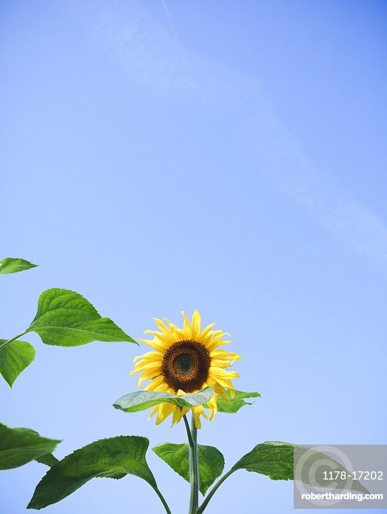 Sunflower against clear sky