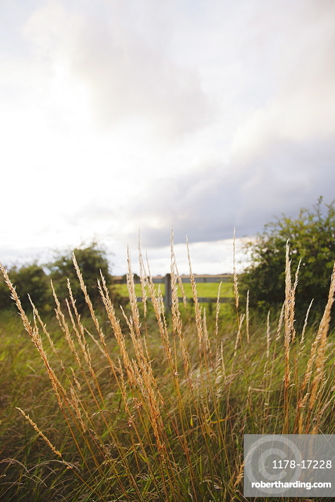 Ireland, County Westmeath, Grass on pasture