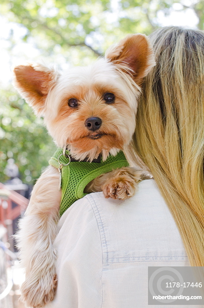 Woman carrying Yorkshire terrier, USA, New York State, New York City, Brooklyn