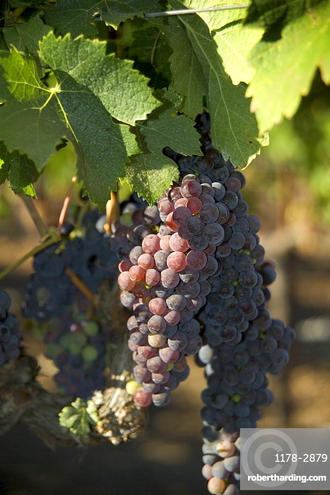 Closeup of California wine grapes