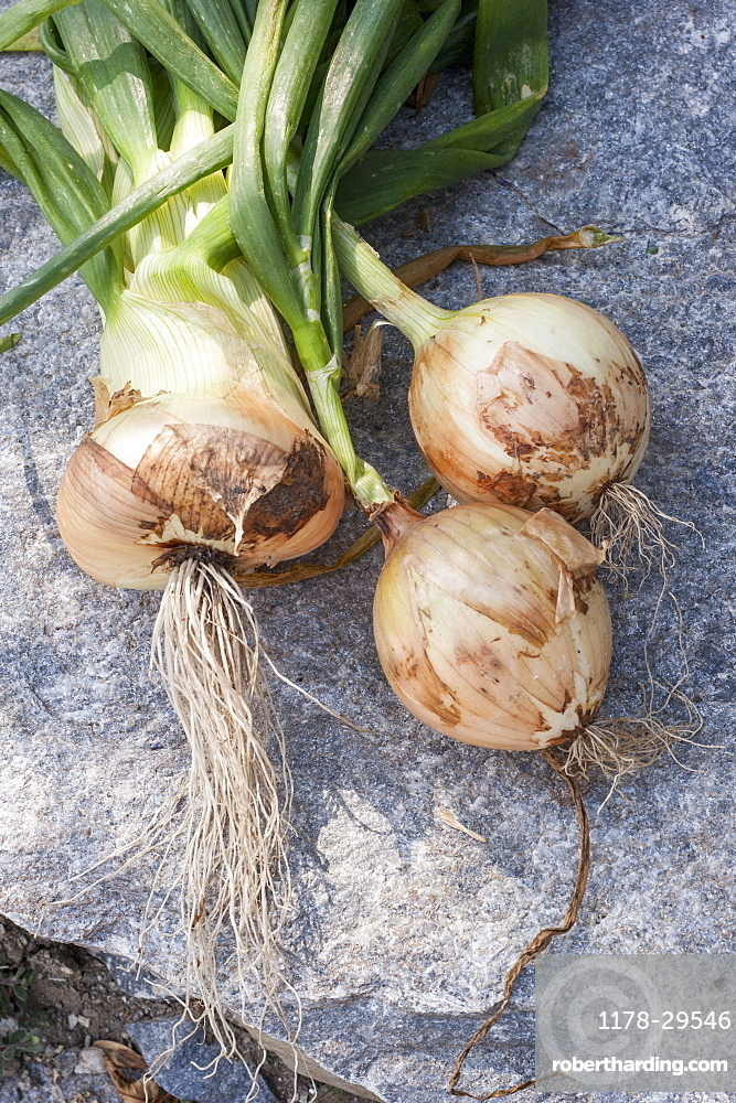 Onion with greens