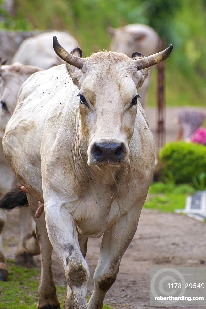 Cow walking to pasture