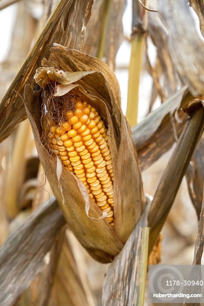 United States, Virginia, Corn in autumn