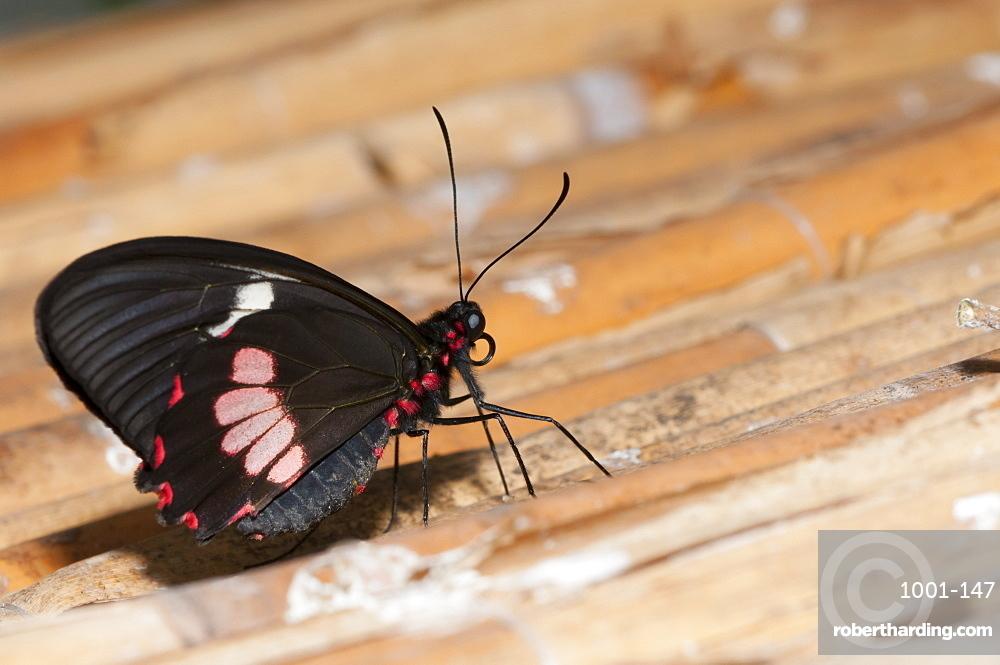 Exotic butterfly (Rhopalocera), Grevenmacher Butterfly Garden, Luxembourg, Europe