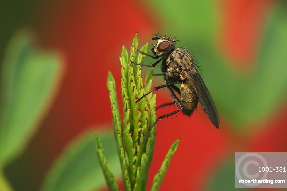 Fly, Diptera (True flies), North West Bulgaria, Bulgaria, Europe