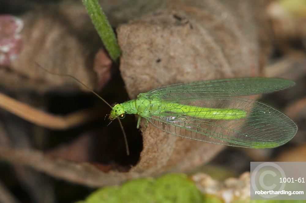 Common green lacewing (Chrysoperla carnea) (Chrysopidae) (Neuroptera), Bulgaria, Europe