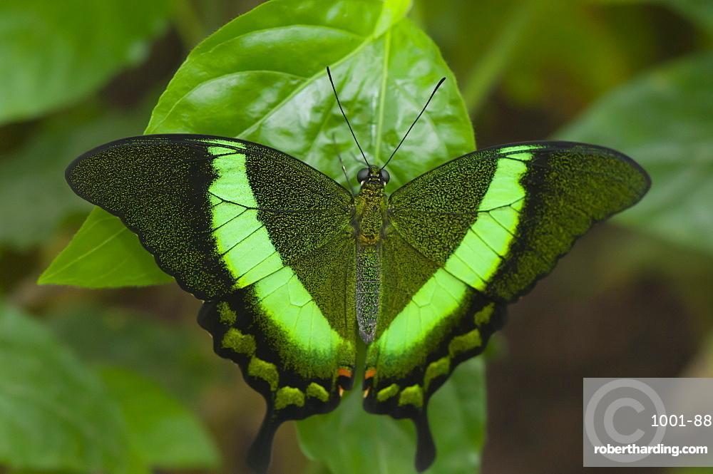 Green-barred swallowtail (Papilio palinurus) (Papilionidae), Grevenmacher Butterfly Garden, Luxembourg, Europe