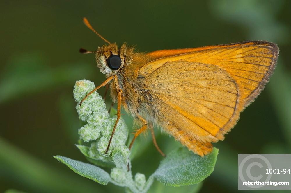 Skipper (Hesperiidae), Bulgaria, Europe