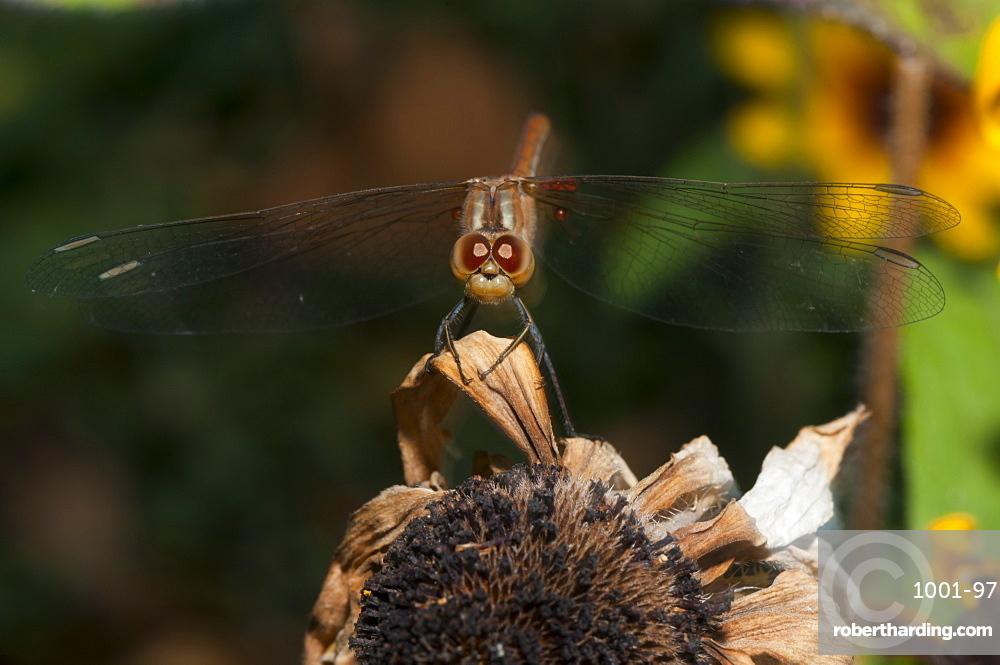 Dragonfly (Odonata), Bulgaria, Europe