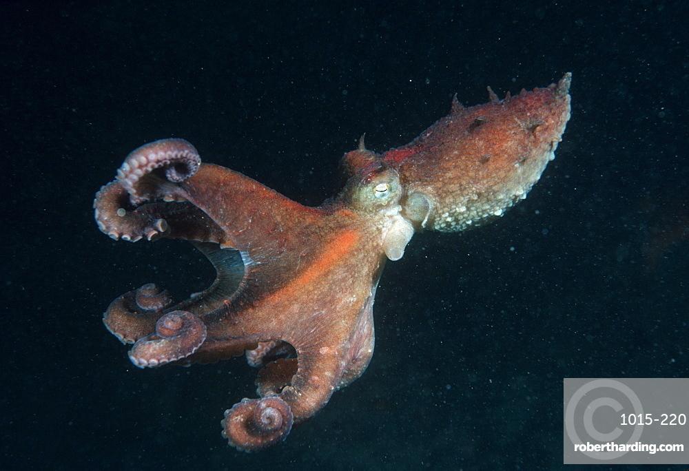 Octopus (Octopus sp).