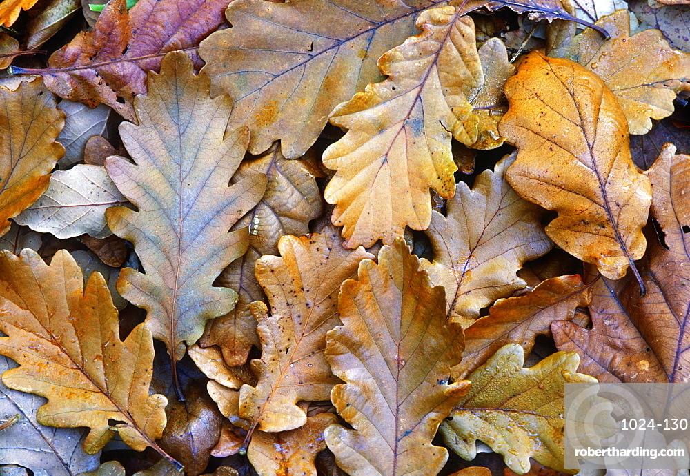 Fallen oak leaves (Quercus robur), UK