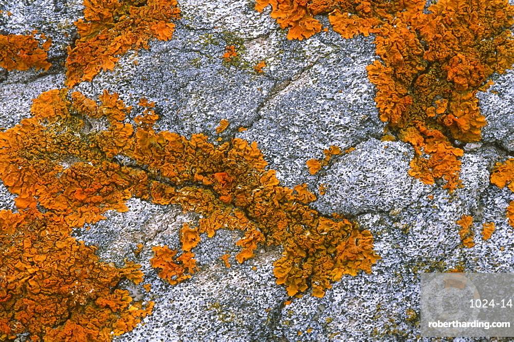 Orange Sea Lichen (Caloplaca marina) on whale bone, Devon, UK