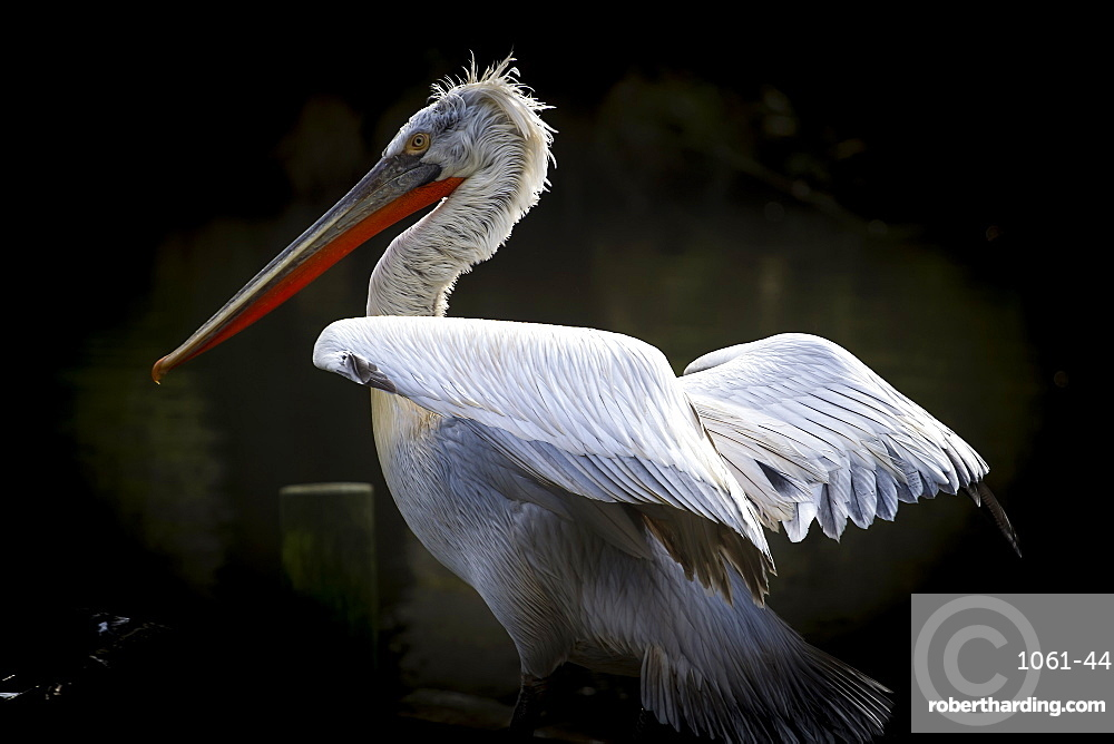 Dalmatian Pelican (Pelecanus crispus), near threatened status, France, Europe