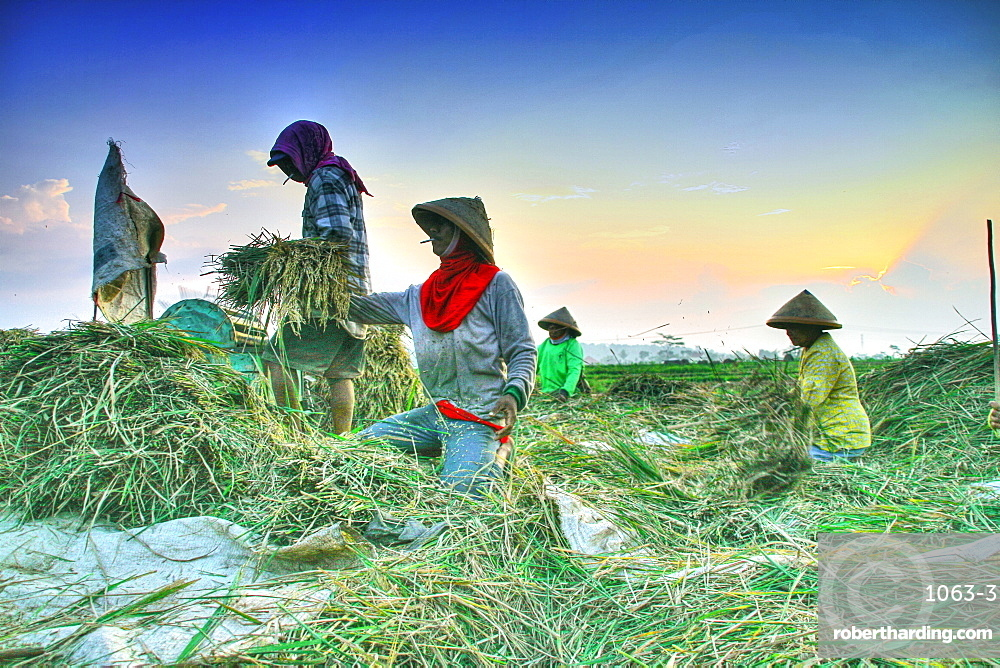 Farmers in Java island using organic instead of pesticide. They are using traditional tools and organic manure/ fertilizer  and they still have a good quality harvest.  Java, Indonesia