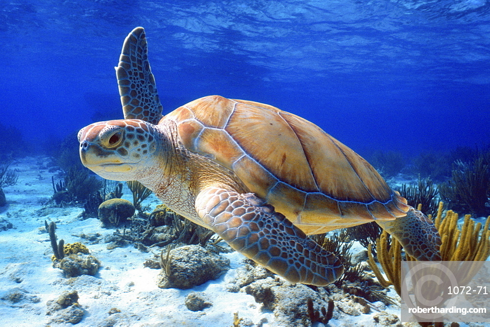 Green sea turtle, Cayman Islands