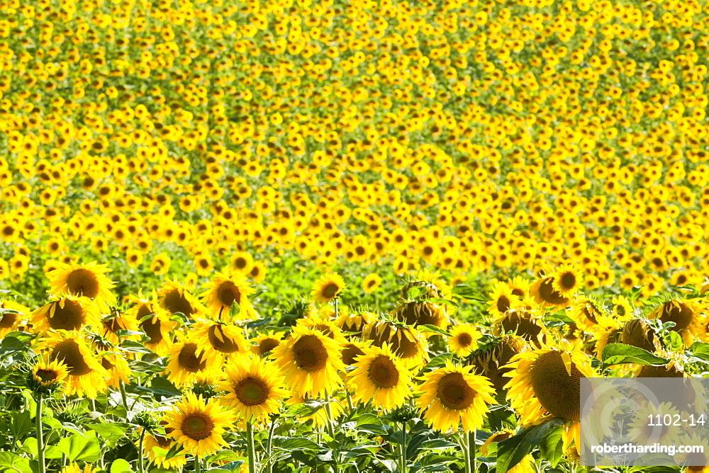 Sunflower (Helianthus) fields, Andalucia, Spain, Europe
