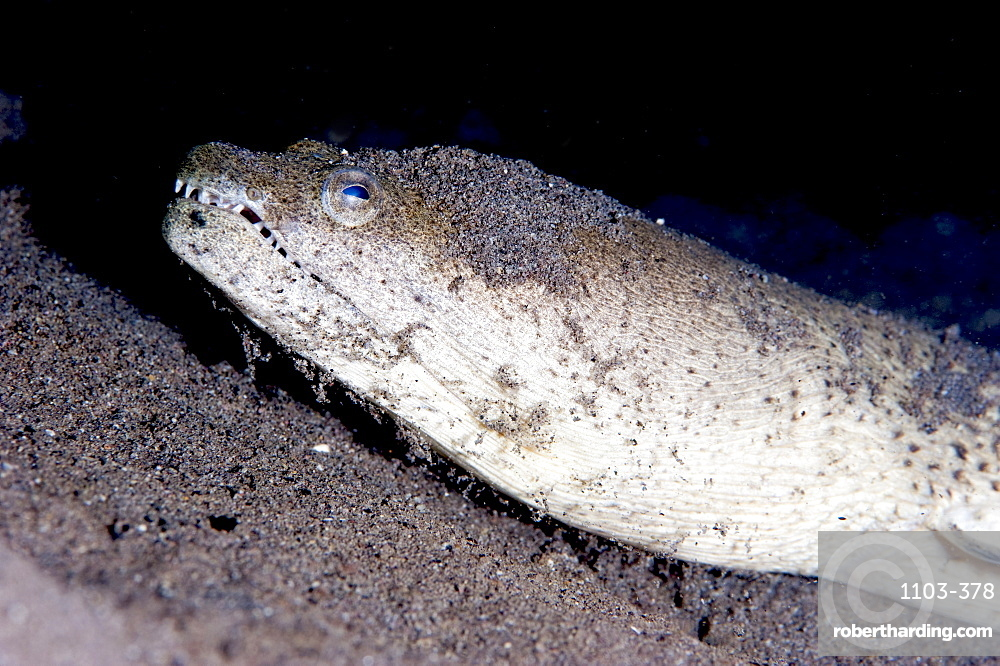 King spotted snake eel (Ophichthus ophis), Dominica, West Indies, Caribbean, Central America