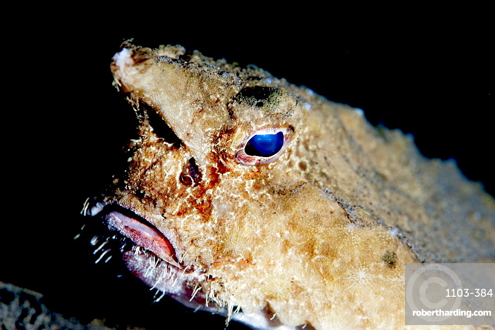 A rare longnose walking batfish (Ogcocephalus corniger) that usually lives at depths to 300m, Dominica, West Indies, Caribbean, Central America