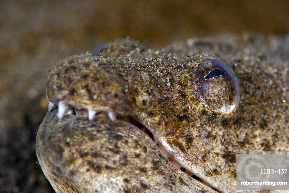 King spotted snake eel (Ophichthys ophis), Dominica, West Indies, Caribbean, Central America
