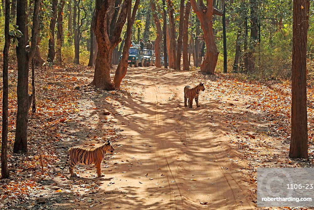 Wild Bengal tiger (Panthera tigris tigris), Bandhavgarh Tiger Reserve, Madhya Pradesh, India, Asia