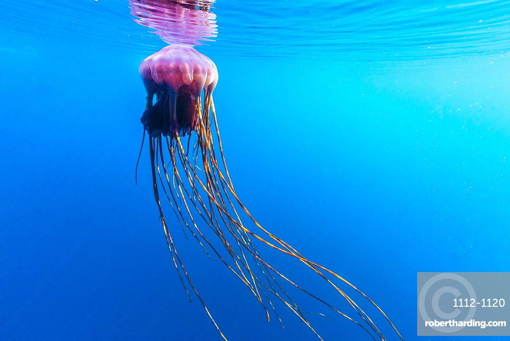 Unidentified large jellyfish in brash ice, Cierva Cove, Antarctica, Southern Ocean, Polar Regions