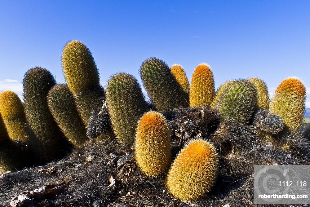 Endemic lava cactus (Brachycereus spp,), Fernandina Island, Galapagos Islands, UNESCO World Heritage Site, Ecuador, South America