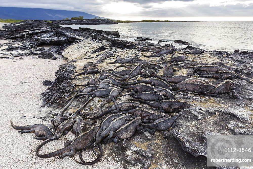 Adult Galapagos marine iguanas (Amblyrhynchus cristatus) basking on Fernandina Island, Galapagos Islands, UNESCO World Heritage Site, Ecuador, South America r