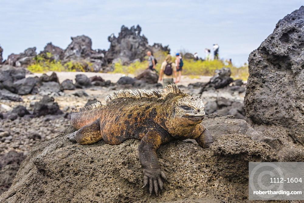 Galapagos marine iguana (Amblyrhynchus cristatus) basking in Urbina Bay, Isabela Island, Galapagos Islands, UNESCO World Heritage Site, Ecuador, South America