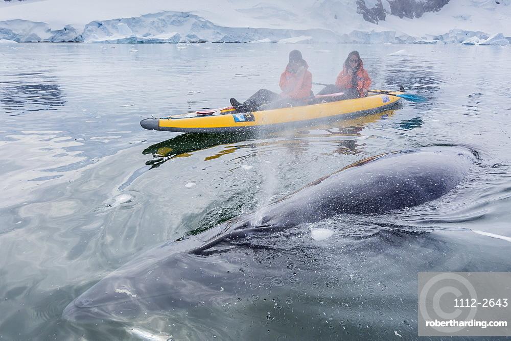 A curious Antarctic minke whale approaches kayakers, in Neko Harbor, Antarctica, Polar Regions