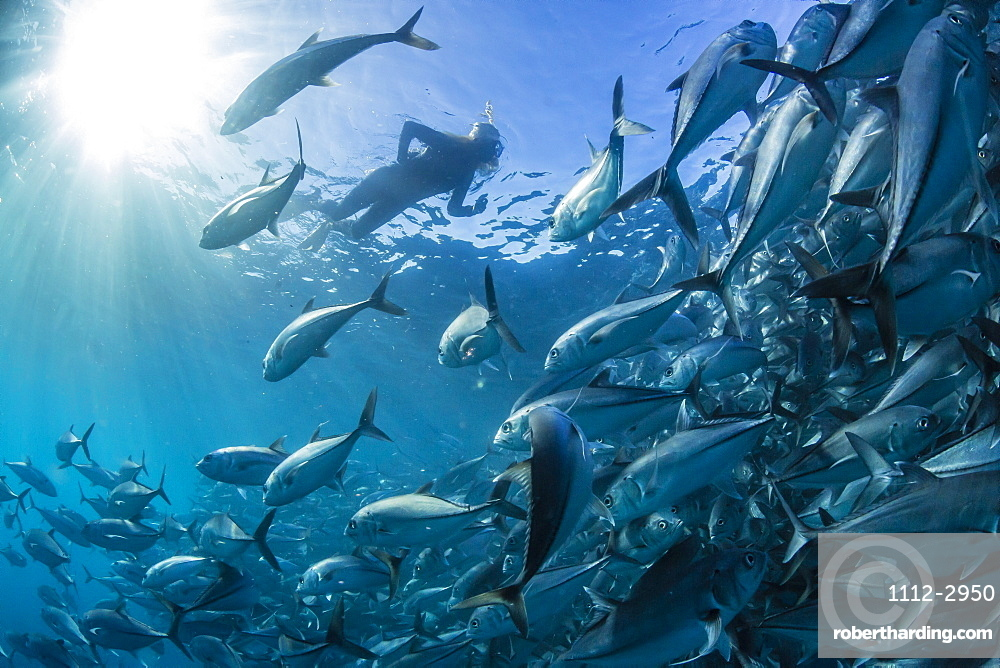 A snorkeler with a large school of bigeye trevally (Caranx sexfasciatus) in deep water near Cabo Pulmo, Baja California Sur, Mexico, North America