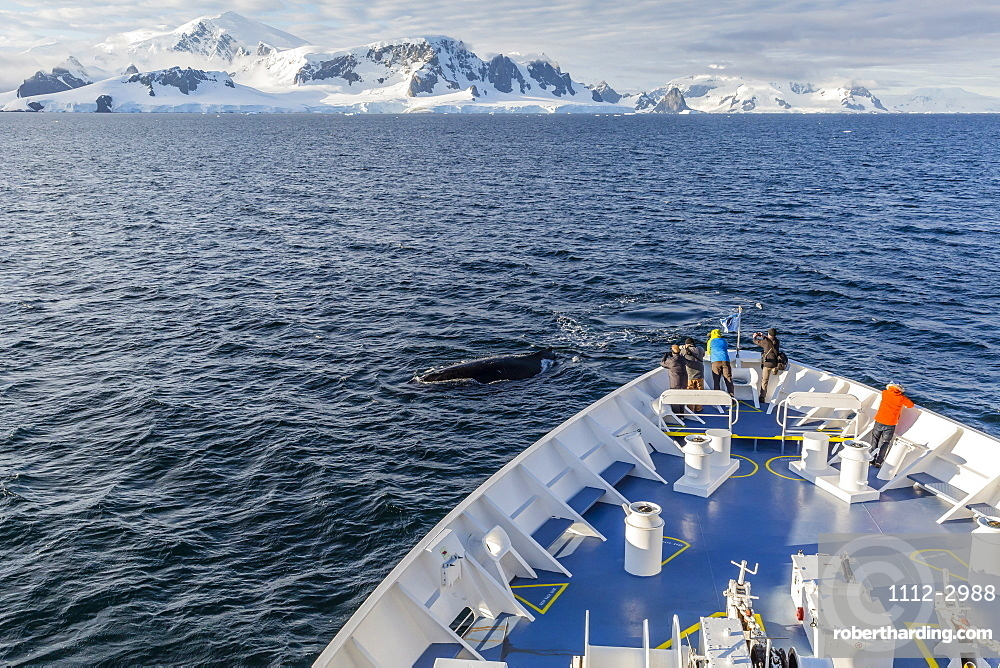 Humpback whale (Megaptera novaeangliae) off the bow of the Lindblad Expeditions ship National Geographic Orion, Cuverville Island, Antarctica, Polar Regions