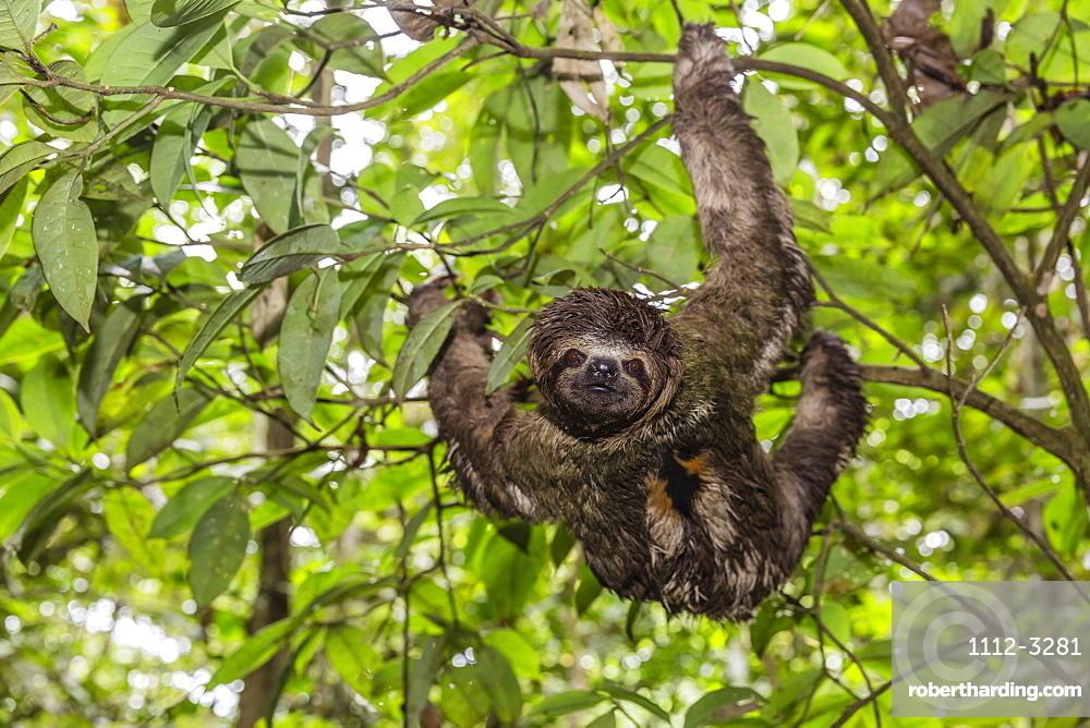A wild brown-throated sloth (Bradypus variegatus), Landing Casual, Upper Amazon River Basin, Loreto, Peru, South America