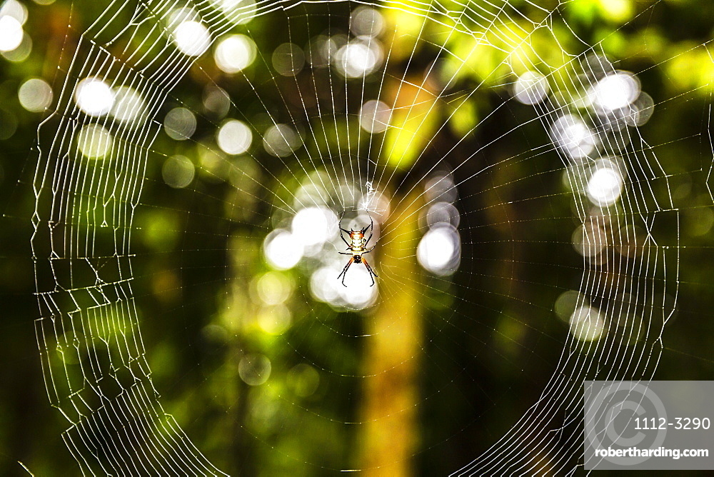 A demon spider (Microthena spp) in its web, Amazon National Park, Loreto, Peru, South America