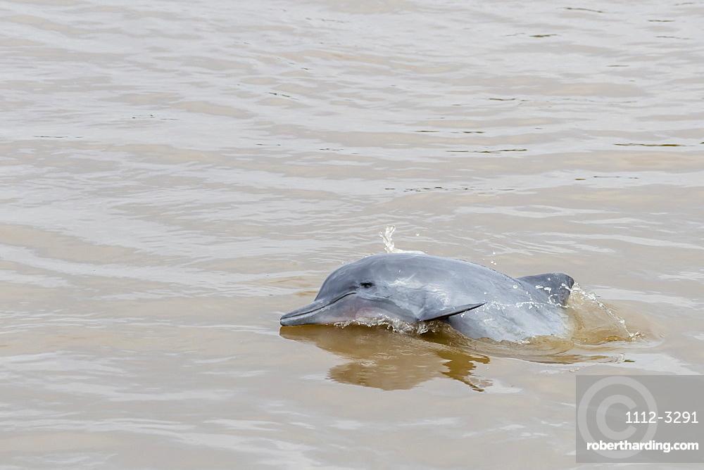 Adult gray dolphin (bufeo gris) (Sotalia fluviatilis), Amazon National Park, Loreto, Peru, South America