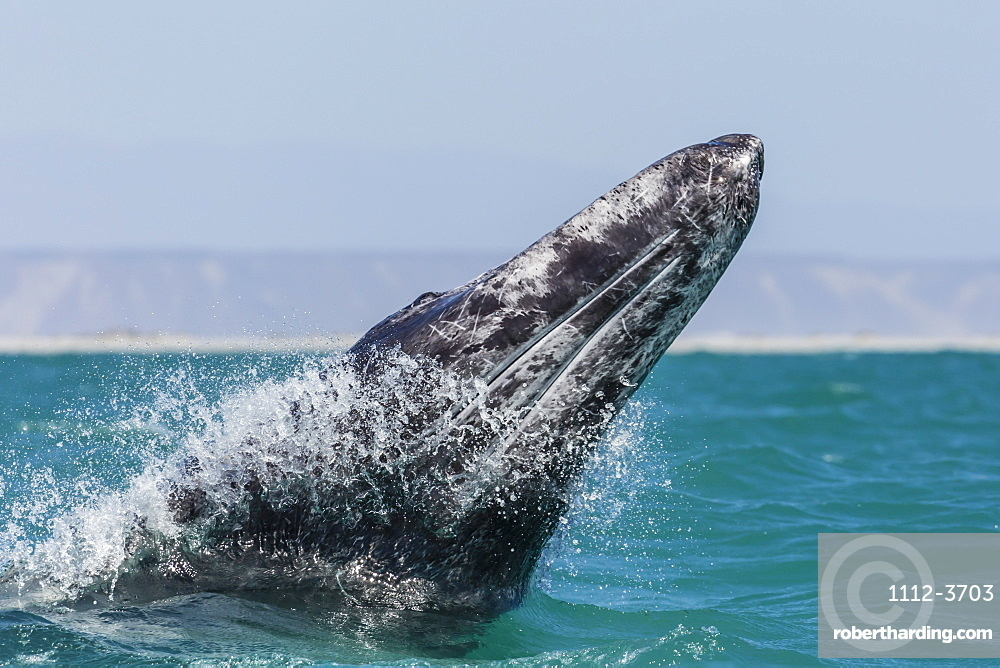 California gray whale calf (Eschritius robustus) breaching in San Ignacio Lagoon, Baja California Sur, Mexico, North America